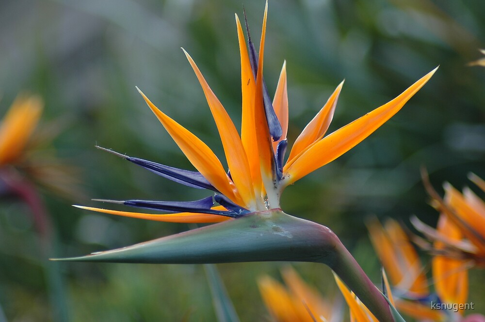 Bird of Paradise 2 by ksnugent