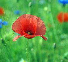 German Poppy by Phillip Moore