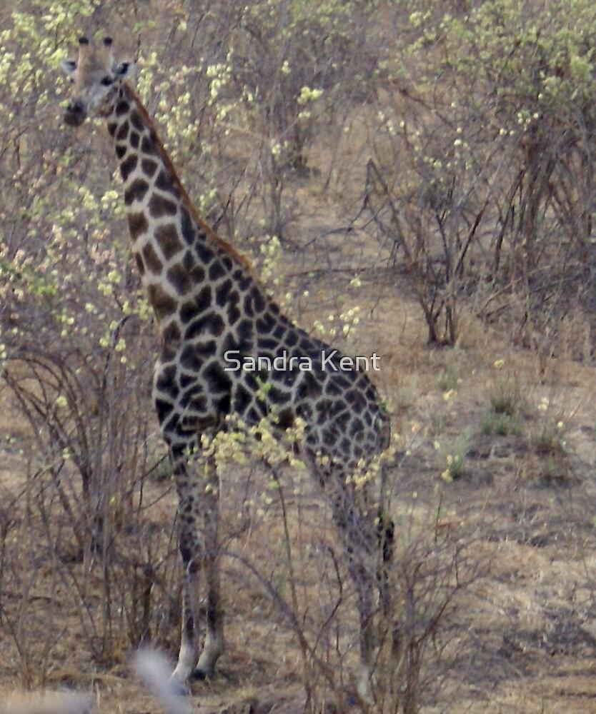 Giraffe by Sandra Kent