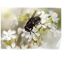Fly on White Blossom Poster