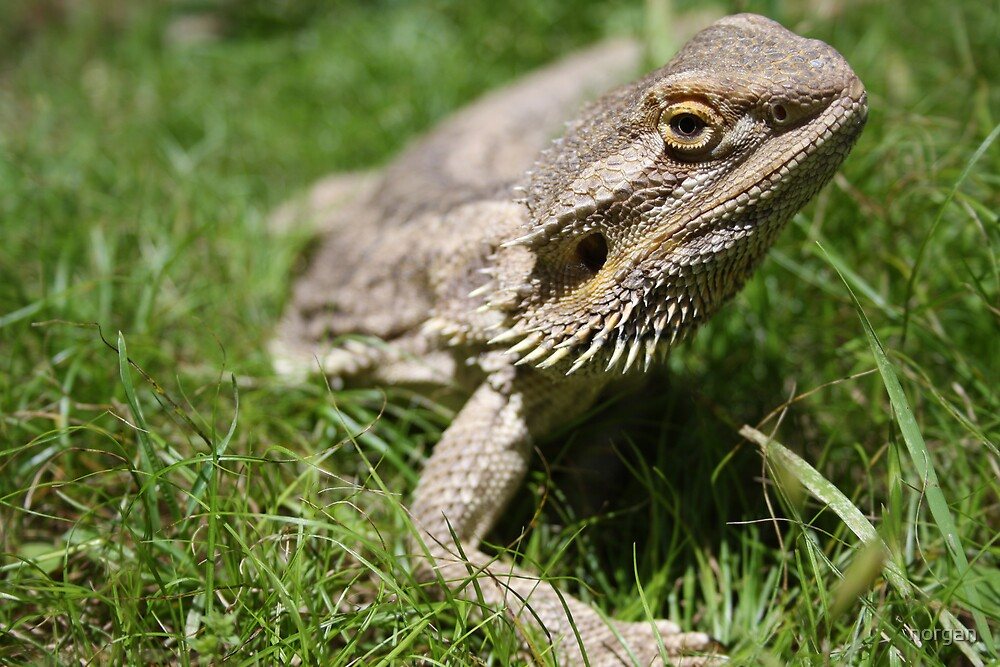 Wilson (The Lizard) by norgan