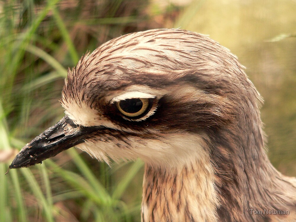 Bush- Stone curlew by Tom Newman