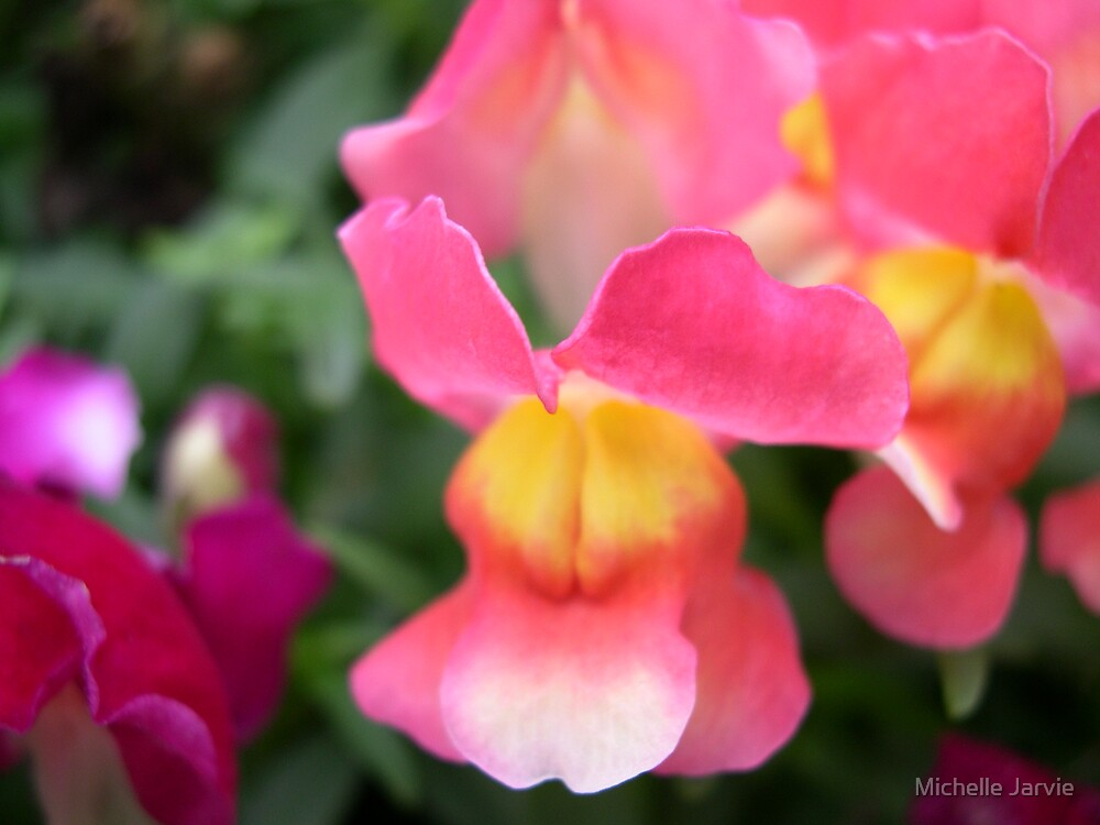 Snapdragon by Michelle Jarvie