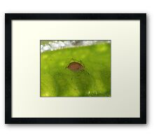 Brown aphid Framed Print