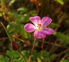 Herb Robert by Pauline Jones