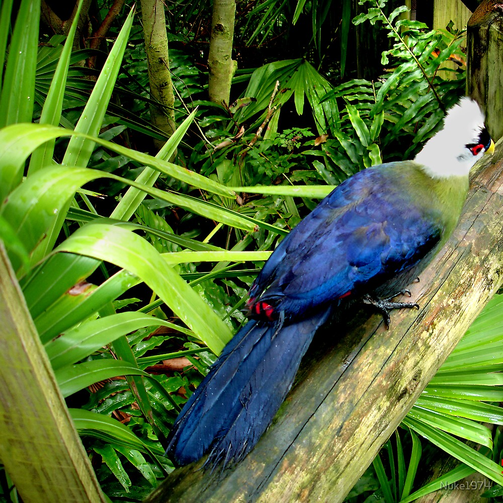 White Crested Turaco by Nuke1974
