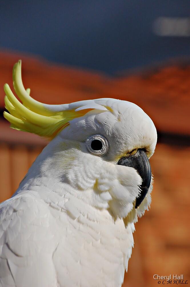 Portrait of a Cocky. by Cheryl Hall