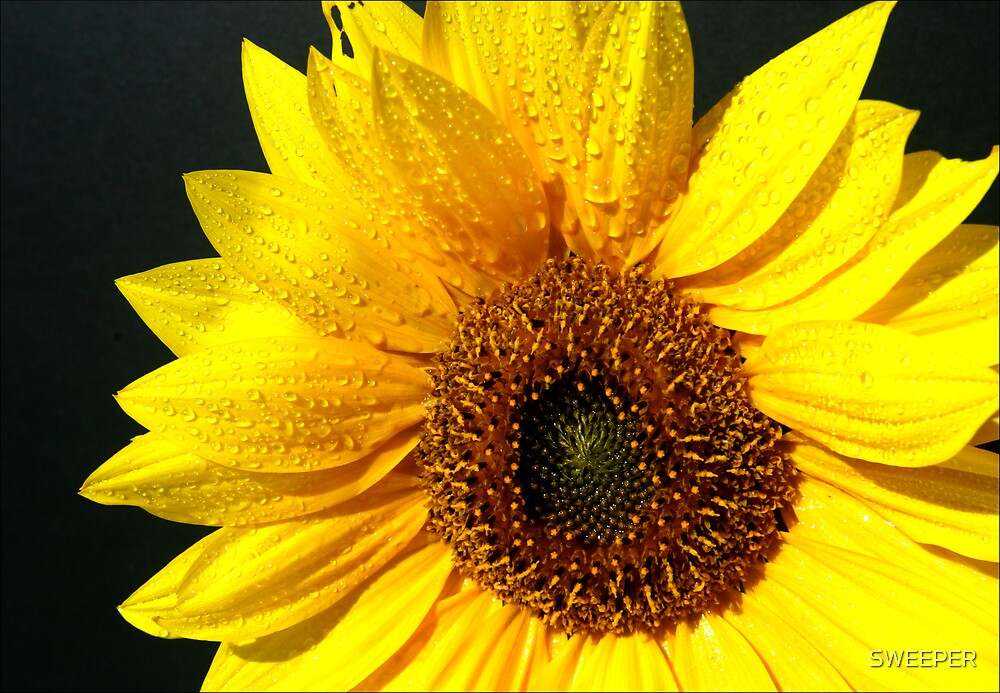 Sunflower by SWEEPER