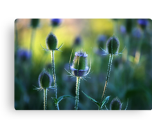 Summer thistles Canvas Print