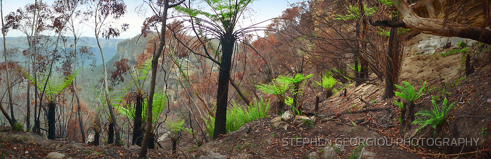 New Life emerges after the Bushfire's in Blackheath 2007 by STEPHEN GEORGIOU