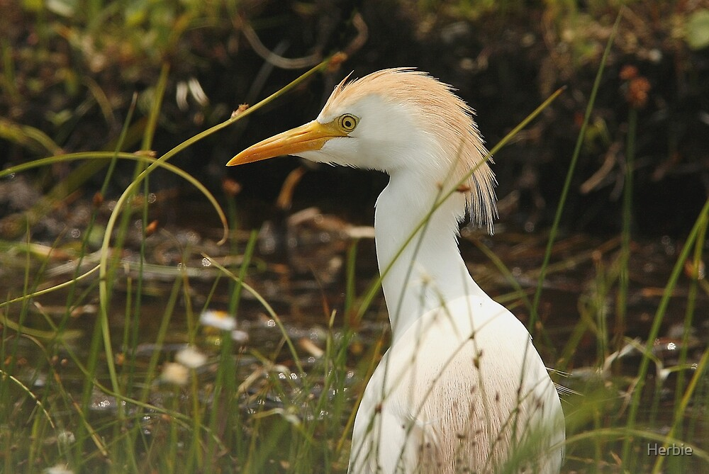Cattle Egret by Herbie