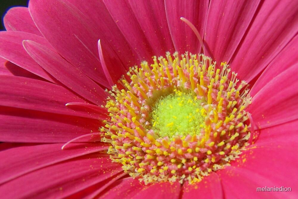 Pink Daisy by melaniedion