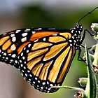 Monarch butterfly by PhotosByHealy