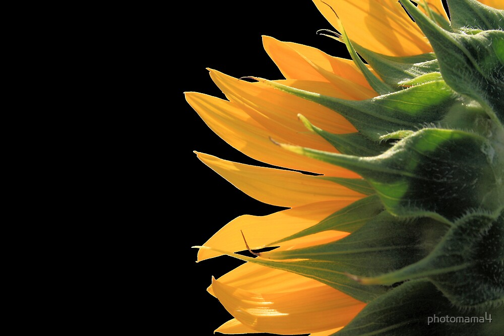 Sunflower Back by photomama4