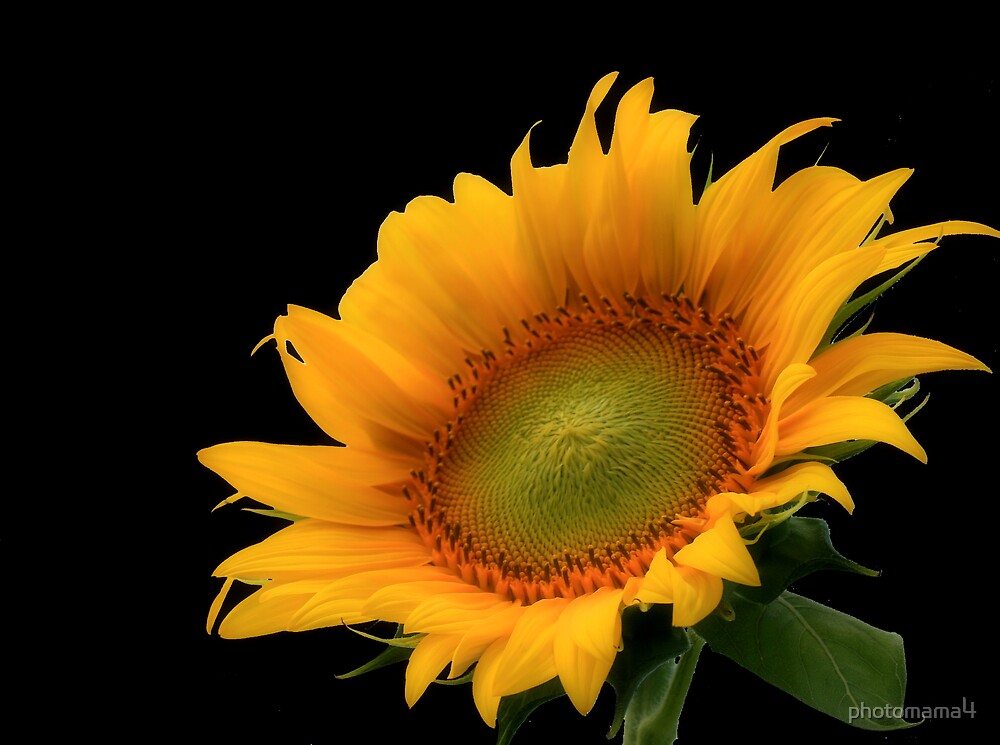 Sunflower Black Background by photomama4