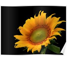Sunflower Black Background Poster