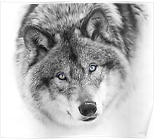 Wolf Eyes - Timber Wolf Poster