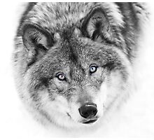 Wolf Eyes - Timber Wolf Photographic Print