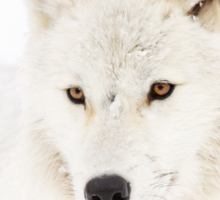 Portrait of a Wolf - Arctic Wolf Sticker