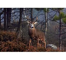 Buck on ridge - White-tailed Deer Photographic Print