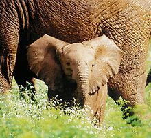 elephant calf by nicolette
