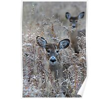 In the Meadow - White-tailed deer Poster