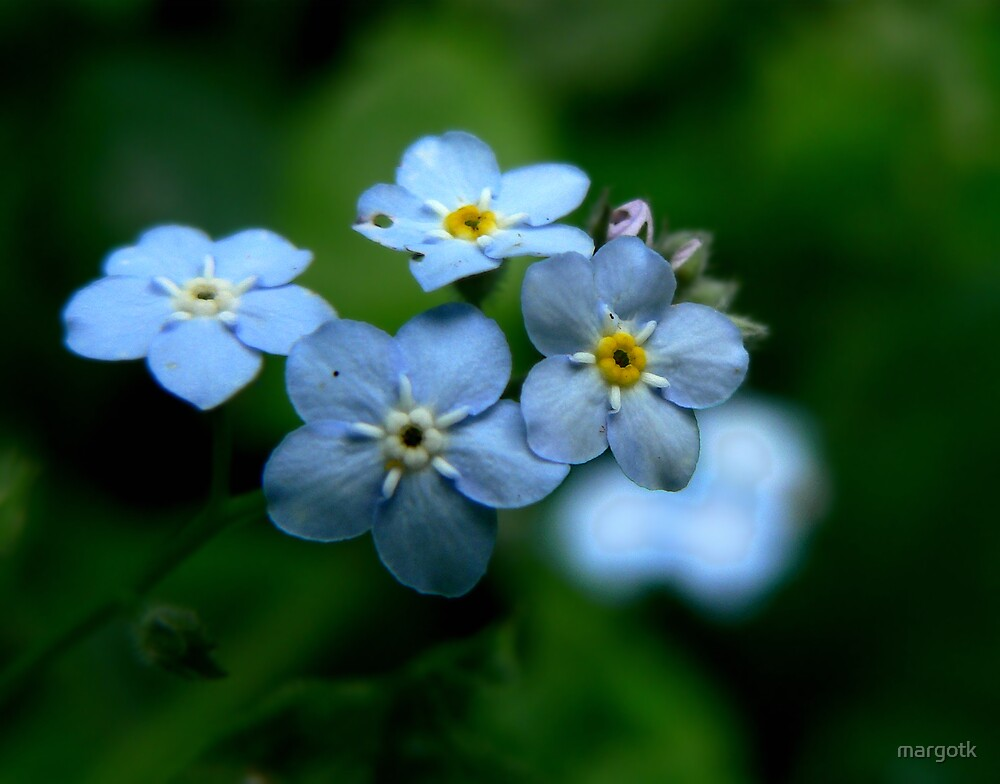 Forget Me Nots by margotk