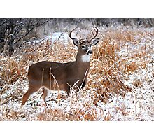 A Regal Stance - White-tailed deer Buck Photographic Print