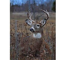 Splendor in the Grass - White-tailed Deer Photographic Print