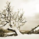 Old Furano Birch by Robert Mullner