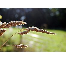 Field grass Photographic Print
