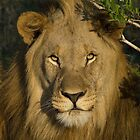 Male Lion by Gerry Van der Walt