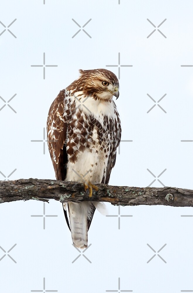 Red-tailed Hawk - Perched by Jim Cumming