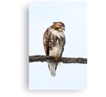 Red-tailed Hawk - Perched Canvas Print