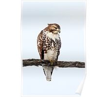 Red-tailed Hawk - Perched Poster