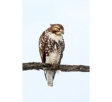 Red-tailed Hawk - Perched Photographic Print
