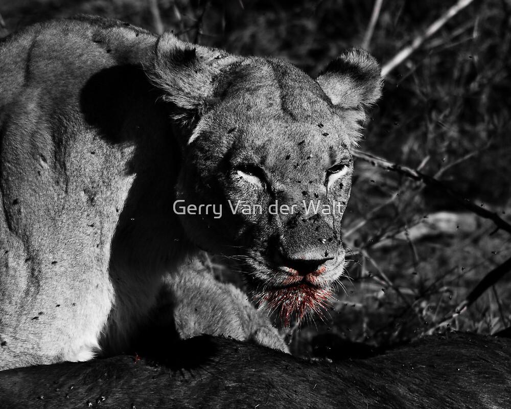 Lioness on a Kill - B&W by Gerry Van der Walt