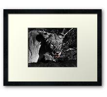 Lioness on a Kill - B&W Framed Print