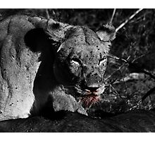 Lioness on a Kill - B&W Photographic Print
