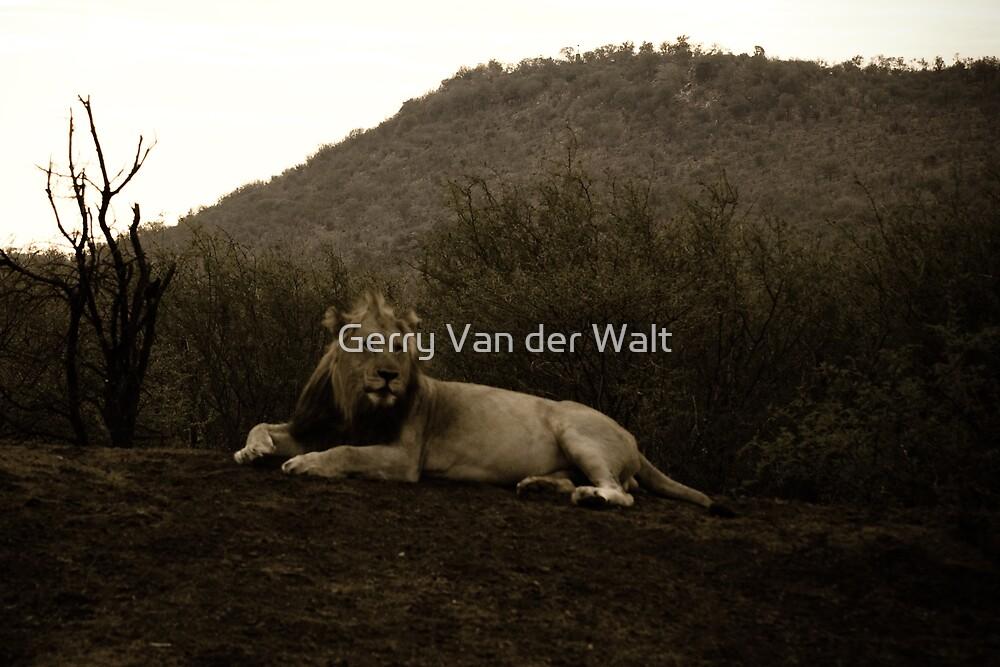 Old Fashioned Lion Photo by Gerry Van der Walt