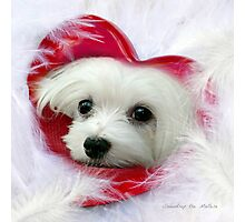 Snowdrop the Maltese - Forever in my Heart Photographic Print
