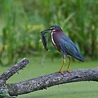 Green Heron wins local fishing contest! by Jim Cumming