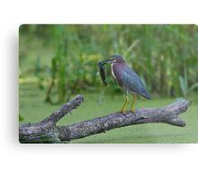 Green Heron wins local fishing contest! Metal Print