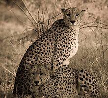 Cheetah Coalition by Gerry Van der Walt