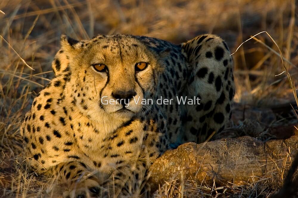 Cheetah in Morning Light by Gerry Van der Walt