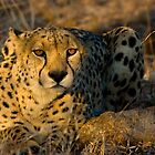 Cheetah in Morning Light by Gerry Van der Walt