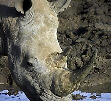 White Rhino Drinking by Gerry Van der Walt