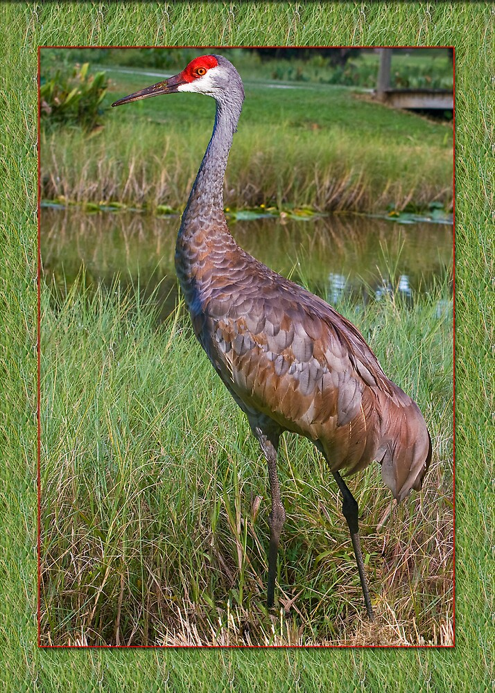 Sandhill Crane at Pond by Delores Knowles