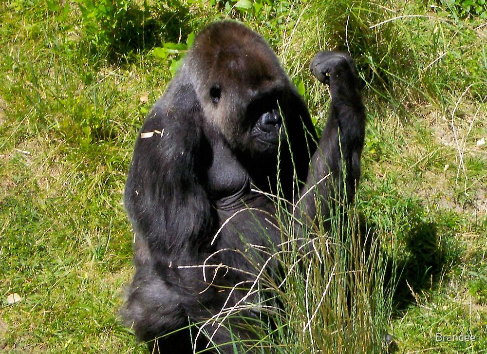 Zoo Gorilla by Brandee