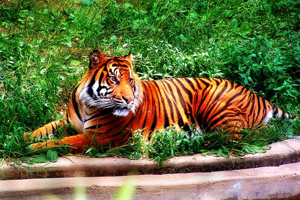 Tiger by Kimberly Sharpe